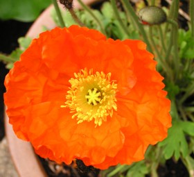 flower 2: one of my gorgeous orange poppies at Twin Maple Lane, Corvallis -- May 2004: photo by Sienna