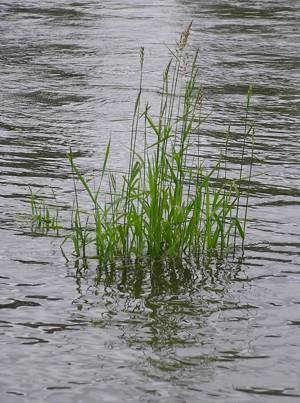 grass 24: in the Willamette River, near Corvallis -- June 2004: photo by Sienna