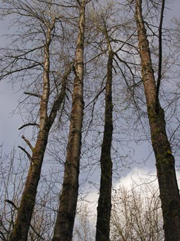 a stand of lovely straight trees growing toward eachother on the river walk in Corvallis, Oregon: photo by Sienna