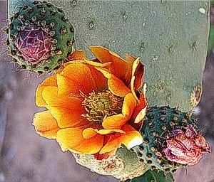 cactus flowers at Finca Padre -- photo by Sienna M Potts, Sonoran Desert, 2 May 2006