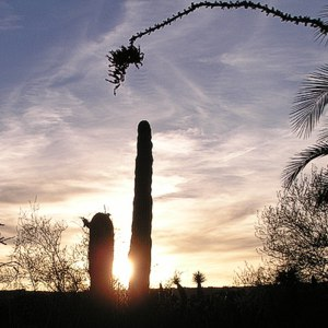 saguaro sunset at Finca Padre -- photo by Sienna M Potts, Sonoran Desert, 1 May 2006