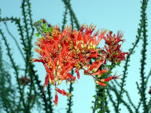 cactus flower at Finca Padre -- photo by Sienna M Potts, Sonoran Desert, 2 May 2006