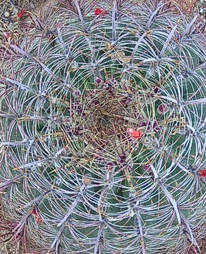 cactus at Finca Padre -- photo by Sienna M Potts, Sonoran Desert, 2 May 2006