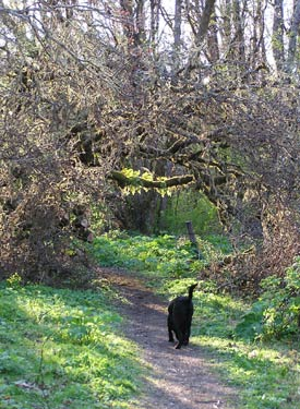 Pippin walks toward the beautifully backlit ferns on the Bald Hill path in Corvallis, Oregon -- photo by Sienna