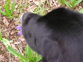 Pippin stops to smell the flowers -- Corvallis River Walk, April 2004: photo by Sienna